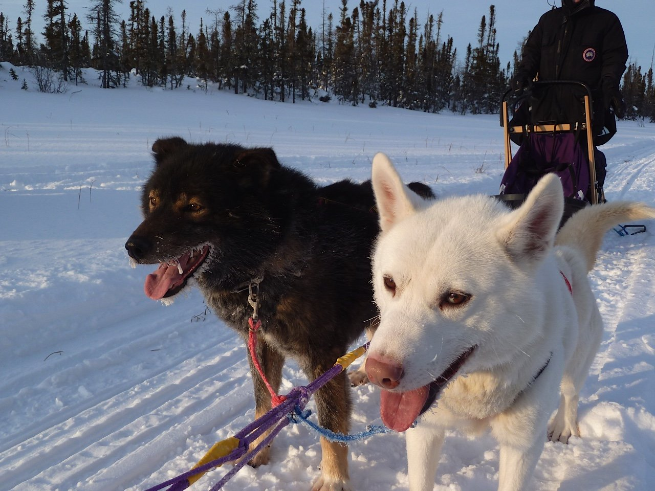 Harness Adventure Mushing Our Dogs